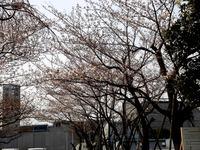 20130323_三井ガーデンホテルズ船橋ららぽーと_桜_0922_DSC06959