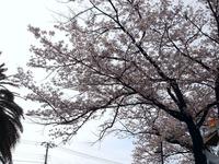 20120413_船橋市浜町2_ららぽーとTOKYO-BAY_桜_0750_DSC08533