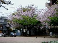 20120421_船橋市本町4_本町中央児童公園_桜_さくら_0853_DSC09286
