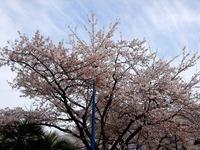 20120413_船橋市浜町2_ららぽーとTOKYO-BAY_桜_0751_DSC08537