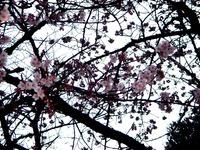 20120314_東京都台東区上野公園5_桜_花見_1700_DSC08309