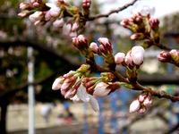 20130320_船橋市若松3_若松公園_桜_1148_DSC05963