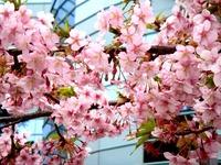 20160306_船橋市古作1_JRA中山競馬_桜_1657_DSC08378
