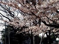 20140329_習志野市泉町1_日本大学_観桜会_1454_DSC01358