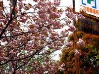 20140420_習志野市香澄6_習志野市第七中学校_桜_1044_DSC05261