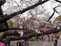 20160323_東京都台東区_上野公園_上野恩賜公園_桜_1123_C0004060