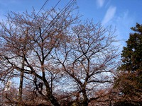 20140329_船橋市薬円台4_薬円台公園_桜_1533_DSC01497