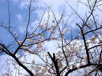 20140405_船橋市浜町2_ららぽーとTOKYO-BAY_桜_1206_DSC03795