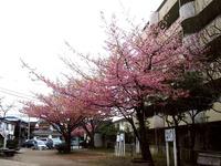 20160312_船橋市本町4_本町中央公園_桜_1623_DSC09079