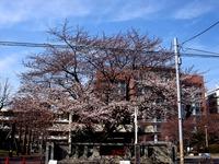 20140329_習志野市泉町1_日本大学_観桜会_1503_DSC01369