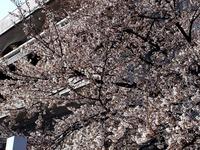 20140329_習志野市泉町1_日本大学_観桜会_1511_DSC01381