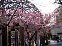 20150221_船橋市_海老川_遊歩道_桜_サクラ_1446_DSC01965