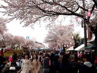 20150404_松戸市六高台の桜通り_六実桜まつり_1200_DSC08354