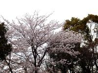 20140406_船場市_海老川ジョギングロード_花見_桜_1653_DSC03988