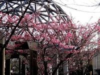 20150221_船橋市_海老川_遊歩道_桜_サクラ_1445_DSC01963T