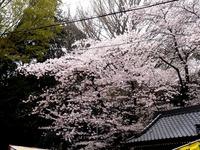 20160403_御滝不動尊さくら祭り_御瀧ソーランまつり_1200_DSC00094