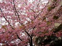 20160312_船橋市本町4_本町中央公園_桜_1623_DSC09080