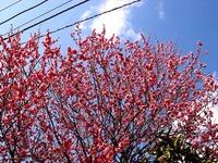 20150221_船橋市西船4_葛飾幼稚園_桜_1215_DSC01674