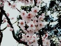 20140323_船橋市_海老川_花見_屋台_桜_1554_DSC00704