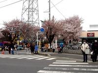 20150404_松戸市六高台の桜通り_六実桜まつり_1159_DSC08349