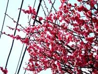 20150221_船橋市西船4_葛飾幼稚園_桜_1215_DSC01680