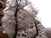 20150404_松戸市六高台の桜通り_六実桜まつり_1235_DSC08387