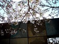 20140330_船橋市浜町2_東京ベイプリズム_桜_1734_DSC01659