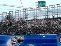 20141129_船橋市若松1_船橋競馬場_十月桜_さくら_0819_DSC00164