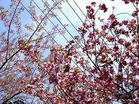20140412_船橋市海神町南1_海神川緑地_桜_1300_DSC04349