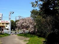20140412_船橋市海神町南1_海神川緑地_桜_1304_DSC04385