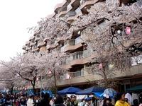 20150404_松戸市六高台の桜通り_六実桜まつり_1235_DSC08388