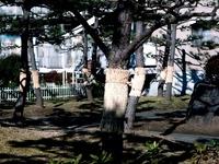 20160110_習志野市秋津1_松の木_コモ巻き_害虫駆除_1006_DSC02771