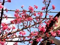 20150221_船橋市_海老川_遊歩道_桜_サクラ_1445_DSC01956