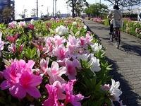 20150426_船橋市浜町2_IKEA船橋前_ツツジ_1524_DSC00452