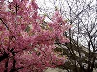 20160312_船橋市本町4_本町中央公園_桜_1624_DSC09093