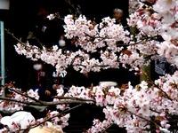 20160403_御滝不動尊さくら祭り_御瀧ソーランまつり_1211_DSC00115