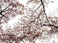 20160323_東京都台東区_上野公園_上野恩賜公園_桜_1114_DSC09837
