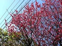20150221_船橋市西船4_葛飾幼稚園_桜_1215_DSC01675