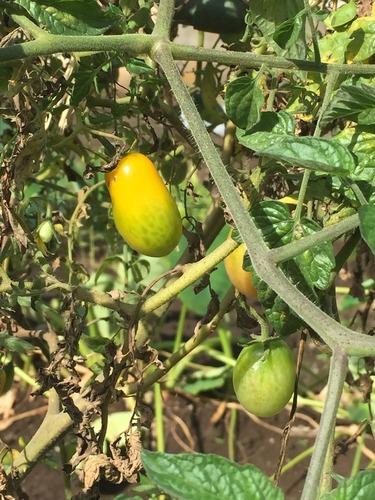ミニトマト、イエローアイコ終期