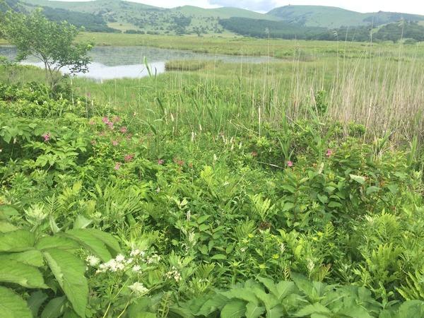 八島湿原のヤナギラン