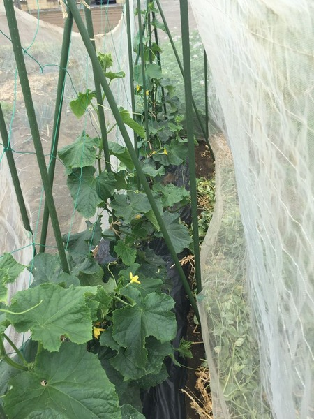 夏野菜の保水