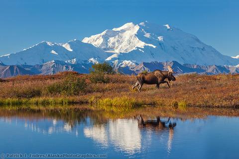 2126709-2-Bull-moose-and-Mt-Denali-reflection
