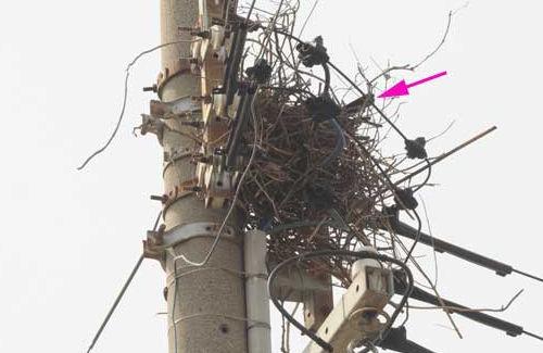 電柱のカラスの巣を中部電力があえて放置、一体なぜ? →驚きの理由が・・・