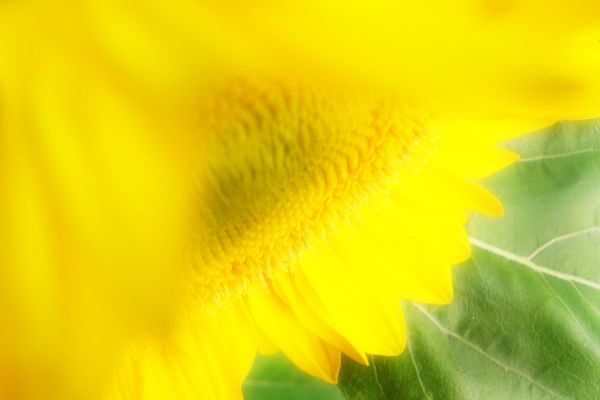 黄色い花の向かう先