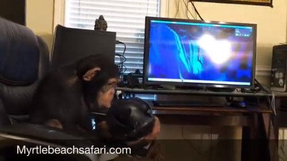 【VR】チンパンジーがVRを楽しむ珍しい映像が公開される!のサムネイル画像