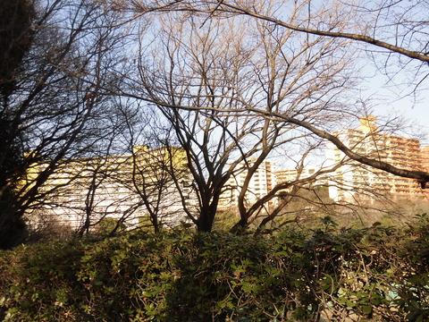 桜-遊水池グランド (2)