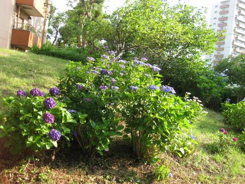 紫陽花-2-6棟東側