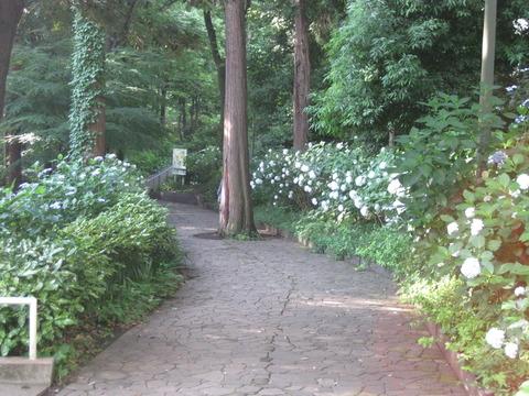 紫陽花-桧山公園付近 (2)
