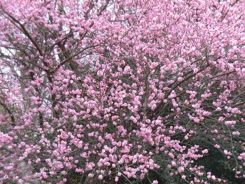 桃の花19棟 (3)
