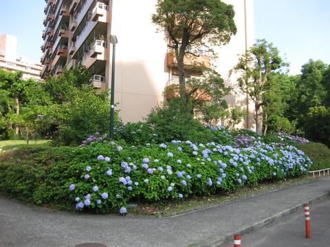 紫陽花-2-6棟東側 (4)